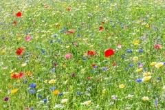Bunte Blumenwiese im Mühlviertel.