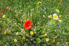 Bunte Blumenwiese im Mühlviertel. Sommer.