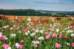 Mohnfeld, Mohnblüte im Waldviertel am Morgen. Kühe auf der Wei