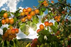 Wachau. Marillen-Aprikosen zum Anbeißen am Baum. Echt sonnenger