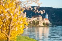 Frühjahr-Marillenblüte in der Wachau-Dürnstein