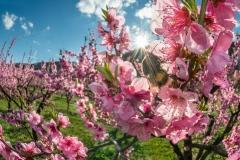 Pfirsichblüte in der Wachau