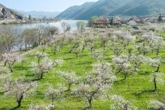 Marillenblüte in der Wachau-Luftaufnahme (Mitterarnsdorf im Hin